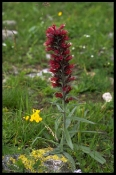 Flowers at Bezengui valley - the Caucasus