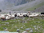 the sheeps in Adyr SU val..