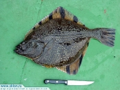 Kamchatka  ocean fish