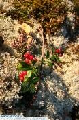 Ladoga cowberry
